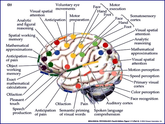 Brain Illustration.Biological Psychology